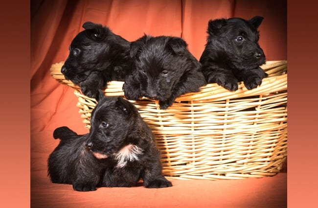A litter of Scottish terrier puppies in a basket. Photo by: (c) Colecanstock www.fotosearch.com