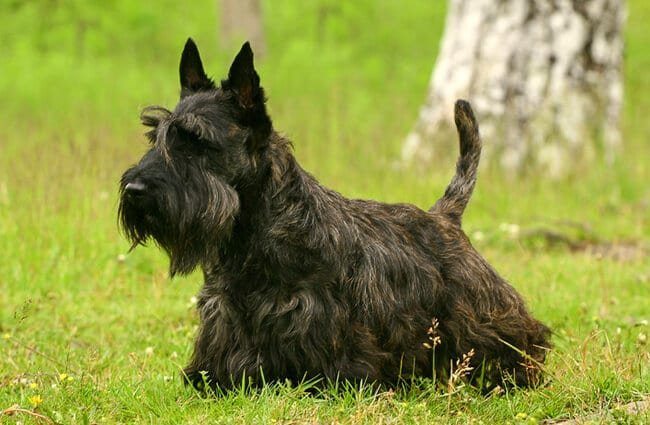 Scottish Terrier (also known as the Aberdeen Terrier) Photo by: (c) PavelShlykov www.fotosearch.com