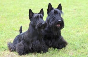 Two Scottish Terrier dogs in the yard.Photo by: (c) CaptureLight www.fotosearch.com