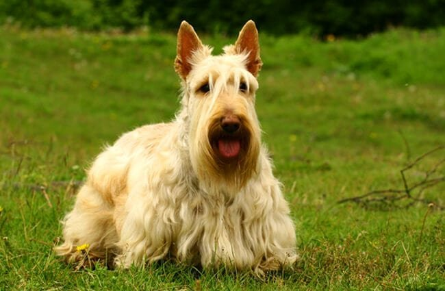 Portrait of a Scottish Terrier. Photo by: (c) PavelShlykov www.fotosearch.com