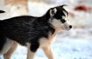 Siberian Husky puppy.
