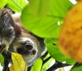Sloth Peeking Through The Leaves.