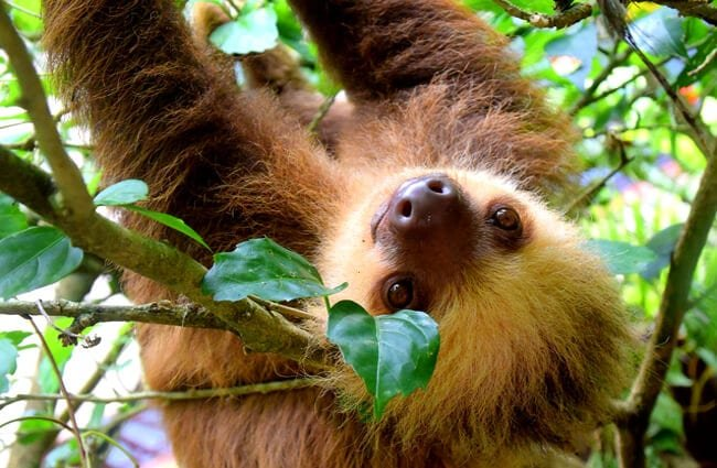 Closeup of a sloth in a tree.