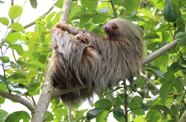 "The long fur of the sloth grows ""up"" from feet to back."