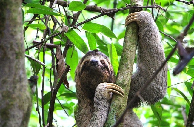 Sloth climbing in a tree.