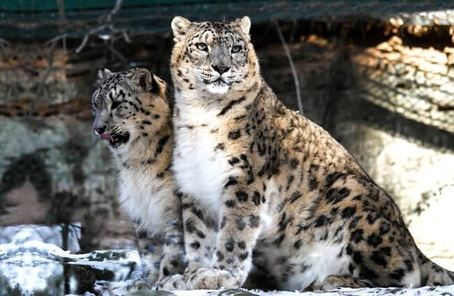 A pair of snow leopards.