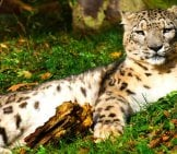 Snow Leopard Napping On The Summer Grass.