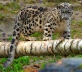 Show Leopard Cub On A Fallen Tree.