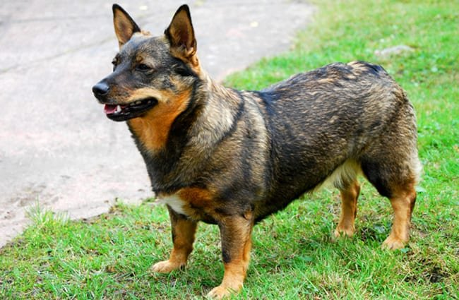 Proud Swedish Vallhund. Photo by: ksilvennoinen © https://creativecommons.org/licenses/by-nc/2.0/