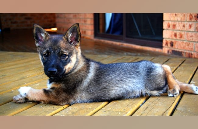 Swedish Vallhund puppy. Photo by: Shaun Versey © https://creativecommons.org/licenses/by-sa/2.0/
