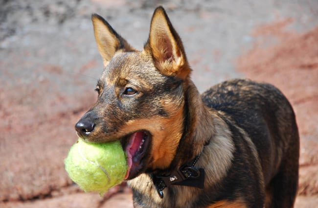 Swedish Vallhund playing fetchPhoto by: ksilvennoinen ©https://creativecommons.org/licenses/by-sa/2.0/