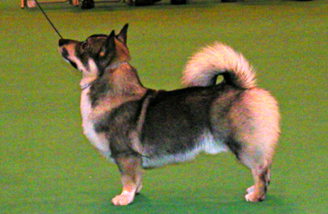 Swedish Vallhund in the show ring. Photo by: Joanne Stockbridge © https://creativecommons.org/licenses/by-sa/2.0/