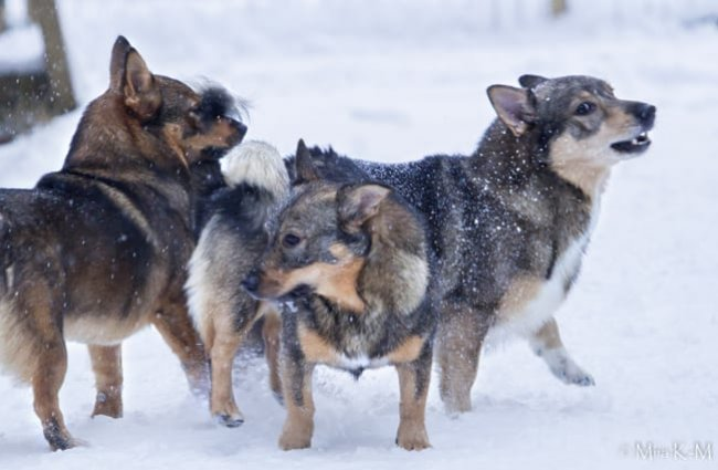 A group of Swedish Vallhunds playing in the snow. Photo by: Miia Kierikki-Malinen © https://creativecommons.org/licenses/by-sa/2.0/
