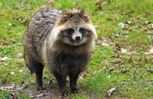 Notice how this Tanuki looks very much like a dog.Photo by: (c) prill www.fotosearch.com