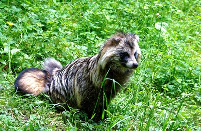 Beautiful long-haired Tanuki (raccoon dog).