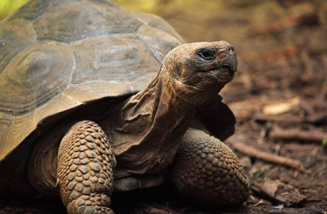 Closeup of a tortoise.