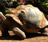African Spurred Tortoise.