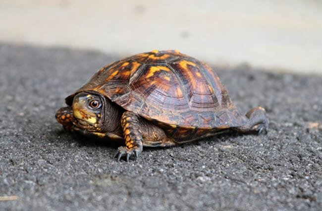 Small tortoise in the roadway.