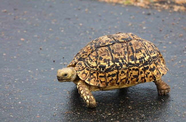 Tortoise crossing the road in South Africa.