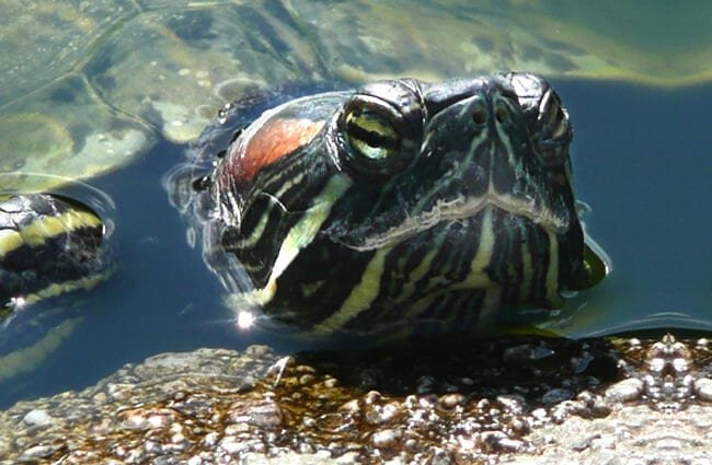 Turtle poking his head out of the water.