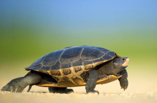 Turtle taking a walk.