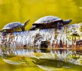 Two Turtles On A Log.