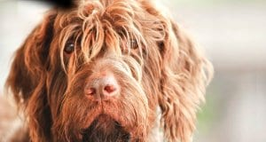 Closeup of a shaggy Wirehaired Pointing Griffon.Photo by: (c) Pinkcandy www.fotosearch.com