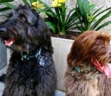 A Pair Of Wirehaired Pointing Griffon Dogs. Photo By: Bennilover Https://creativecommons.org/licenses/by-Nd/2.0/
