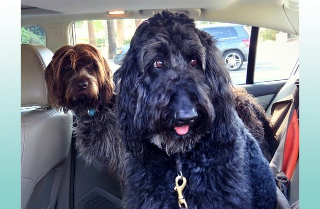 Wirehaired Pointing Griffon buddies in the car. Photo by: Bennilover https://creativecommons.org/licenses/by-nd/2.0/