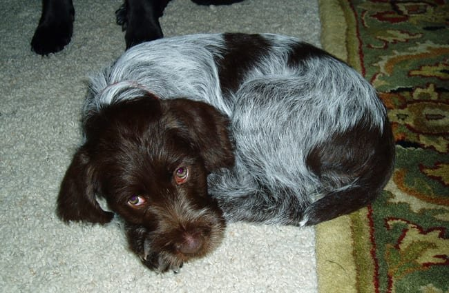 Wirehaired Pointing Griffon puppy, snoozing. Photo by: longball380 https://creativecommons.org/licenses/by-nd/2.0/