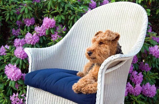 Welsh terrier in white wicker chair. Photo by: (c) liveslow www.fotosearch.com