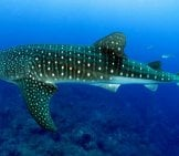 Side View Of A Large Whale Shark.