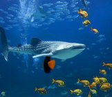 A Whale Shark Amid Schools Of Fish.photo By: (C) Alexeys Www.fotosearch.com