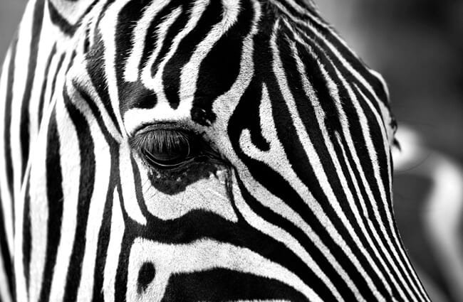 Closeup of a zebra face.