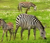 Mother Zebra With Her Foal. Baby Zebra.
