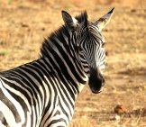 Zebra On The Plains.