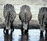 A Pair Of Zebras Drinking From The Waterhole.