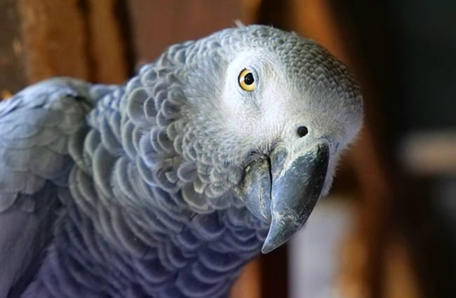 Closeup of an African Grey Parrot.