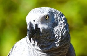 Beautiful closeup of an African Grey Parrot, notice its colorful eyes.