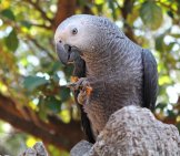 African Grey Parrot Resting On A Rock In The Forest.