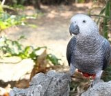 African Grey Parrot Outdoors On A Rock.