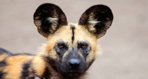 Closeup of an African Wild Dog.