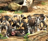 A Pack Of African Wild Dogs Feeding. Photo By: Emiliano Felicissimo Https://creativecommons.org/licenses/by-Nd/2.0/