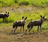 Part Of An African Wild Dog Pack On The Hunt. Photo By: Jeff Kubina Https://creativecommons.org/licenses/by-Nd/2.0/