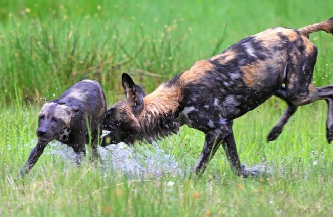 African Wild Dogs playing in the water. Photo by: Lip Kee Yap https://creativecommons.org/licenses/by-nd/2.0/