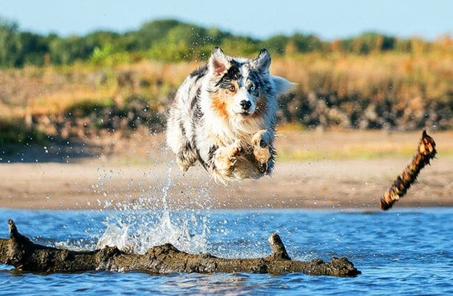 Australian Shepherd launching himself over a log in the water.
