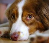 Closeup Of A Beautiful Red Australian Shepherd Puppy.