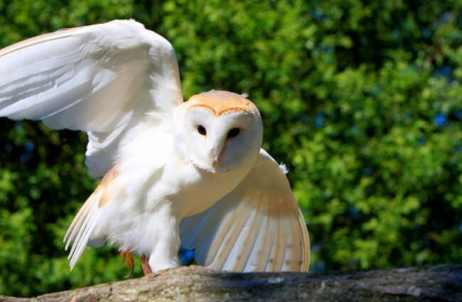 Barn owl coming in for a landing.