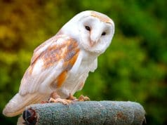 Red and white barn owl on falconry a perch.