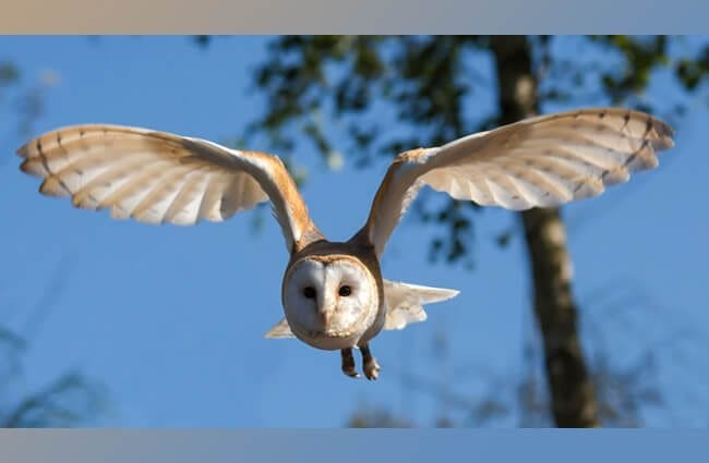 Barn owl in flight. His soft feathers make him a silent predator.